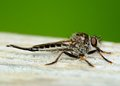 Robber fly perched on a wooden plank Royalty Free Stock Photo