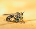 Robber fly perched on a wooden plank eating prey Stock Photo