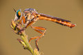 Robber fly a taking a sunbath Stock Photo