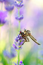 Robber fly with victim between the lavender flowers Royalty Free Stock Images
