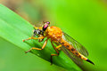 Robber fly with wasp prey Royalty Free Stock Photography