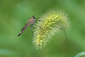 Robberfly a black on grass spike Stock Photo