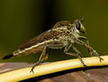 Robberfly taken in surabaya indonesia Stock Images