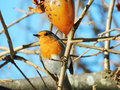 Robin bird beautyful with reddish orange face and breast looking around photo taken in fabruari in georgia Stock Photography
