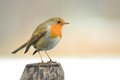 Robin bird on a pole Royalty Free Stock Photo