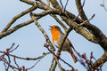 Robin bird singing on the tree Royalty Free Stock Photo