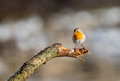 Robin bird in a winter setting Royalty Free Stock Photo