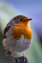 Robin with blurred background Royalty Free Stock Photo