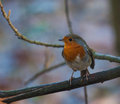 Robin on branch sitting a Royalty Free Stock Photography