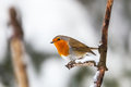 Robin on a branch in winter forest Royalty Free Stock Photos