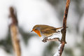 Robin on a branch in winter forest Stock Image