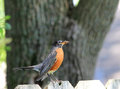 Robin with bug in beak american turdus migratorius perched on wooden backyard fence holding insect its Stock Images