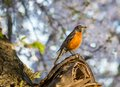 Robin with cherry blossoms a male perches in a blossoming tree in the springtime he holds an insect in his beak Royalty Free Stock Photos