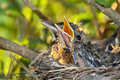 Robin Chick Royalty Free Stock Photo