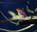 Robin close up on a branch Royalty Free Stock Images