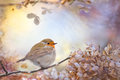 Robin on dreams winter sitting a twig in a frame of hydrangea flowers with beautiful colors in the background Royalty Free Stock Image