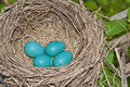Robin eggs in nest Arkivfoton