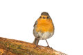 Robin erithacus rubecola close up spring photo Stock Images