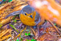 Robin erithacus rubecola close up spring photo Stock Image