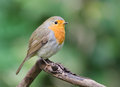 Robin the european erithacus rubecula most commonly known in anglophone europe simply as the is a small insectivorous Stock Image