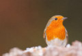 Robin at feeding station in winter Royalty Free Stock Image
