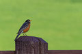 Robin on fence post male sitting old with copy space Royalty Free Stock Image