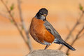 Robin on a fence post sits cedar framed by the branches of leafing out tree headed tilted and its beautiful orange breast in Stock Images