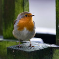 Robin in garden Royalty Free Stock Photo
