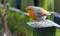 Robin in garden Royalty Free Stock Photo
