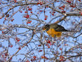 Robin in Ice Covered Tree Eating Berries Royalty Free Stock Photos