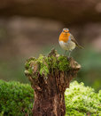 Robin on a log an european erithacus rubecula sits stump covered with moss in lithuanian forest Royalty Free Stock Photography