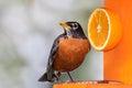 Robin And Orange