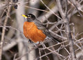 Robin Perched Royalty Free Stock Photography