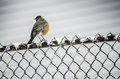 During Snowfall-Robin on Fence Royalty Free Stock Photo