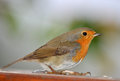 Robin red breast Royalty Free Stock Photos