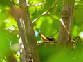 Robin red breast in a nest in a dogwood tree green leafy Royalty Free Stock Photo