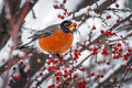 Robin rests snowy branch crab apple tree Royalty Free Stock Photo