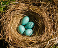 Robin's eggs Stock Images