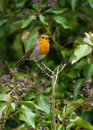 Robin singing Royalty Free Stock Image