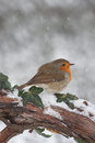 Robin in snow european erithacus rubecula on branch Stock Photo