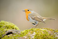 Robin Royalty Free Stock Photo