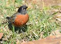 Robin standing grass rock Royalty Free Stock Image