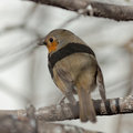 Robin on a tree closeup branch in the spring Royalty Free Stock Images