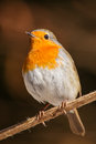 Robin on a winter branch Stock Photography