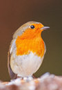 Robin in winter, closeup Stock Photography