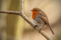 Robin in winter sat in a tree Royalty Free Stock Photography