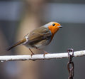 Robin on  a wire Royalty Free Stock Photo
