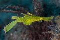 Robust Ghost Pipefish Royalty Free Stock Photo