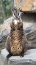 Roche wallaby jaune aux pieds Photo stock