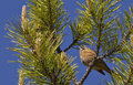 Rock bunting on pine tree a emberiza cia is perching a branch Royalty Free Stock Image